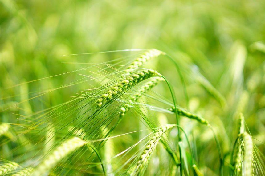 Zielony jęczmień – nie takie zwykłe zboże